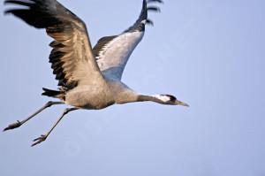 Grue cendrée Grus grus Common Crane