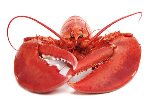 Cooked European common lobster isolated a white background